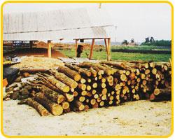 木炭の原料となるカシの木